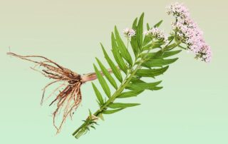 benefits-of-valerian-root-asheville-hemp-farms-2