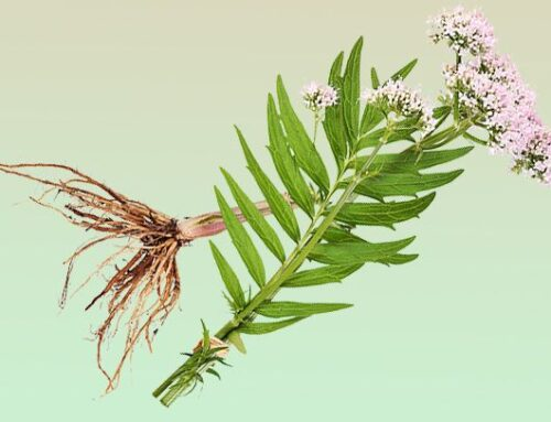 Herbal Medicine 101: Benefits of Valerian Root